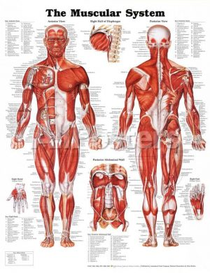 the-muscular-system-anatomical-chart-poster-print_a-g-8925610-0